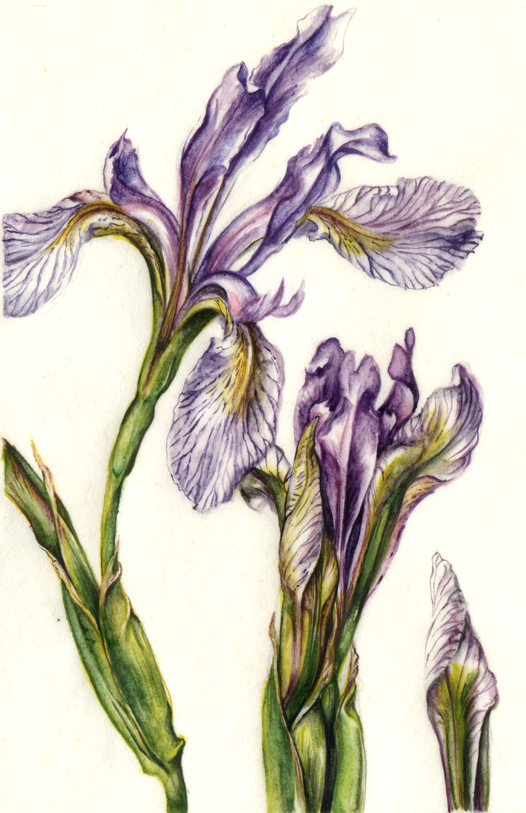 cathy weber - art - painting - woman -flower - watercolor - montana - painting - parchment - skin - botanical - study - flower - flag - iris