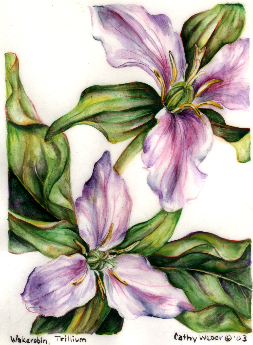 cathy weber - art - painting - woman -flowers - watercolor - moon phase- montana - painting - parchment - skin - botanical - study - wildflower - trillium